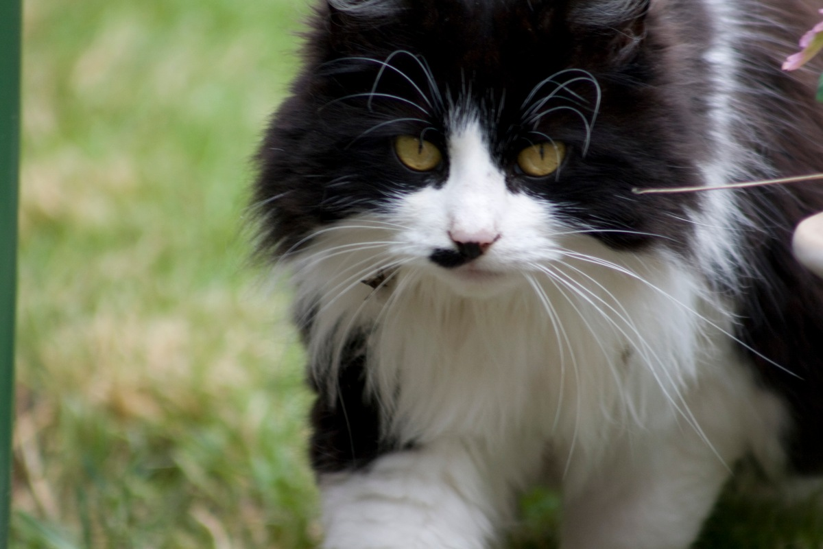black and white fluffy cat | medivetuk